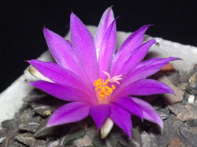 Roseocactus kotschoubeyanus