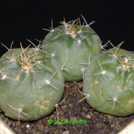 Eomatucana oreodoxa F.Ritter. Молоді рослини у віці 4-5 р. Власник: Я.П.Джура. Фото: Я.П.Джура.