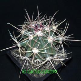 Ferocactus wislizenii (MG)