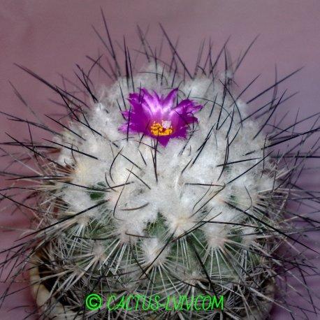 Gymnocactus viereckii