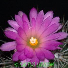 Coryphantha ramillosa
