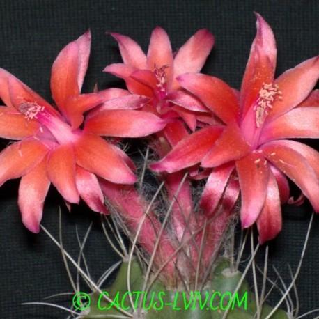Submatucana paucicostata