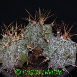 Astrophytum ornatum v.glabrescens (Dohnalik)