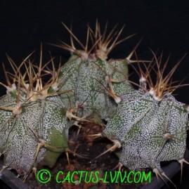 Astrophytum ornatum v.glabrescens. Молоді сіянці у віці 4 р.(Посів 2011р.). Власник: І.Б.Маринюк. Фото: Я.П.Джура.