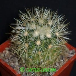 Mammillaria densispina v.flavispina