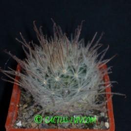 Mammillaria pennispinosa Bernijillo Coah.(Dohnalik)