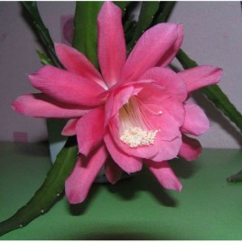 Epiphyllum hybridum (рожеві кв.)
