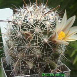 Mammillaria blossfeldiana SB 1487 Nogales. Власник: Я.П.Джура. Фото: Я.П.Джура.