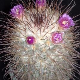 Mammillaria bombycina. Вік: 11 р. Власник: Я.П.Джура. Фото: Я.П.Джура.