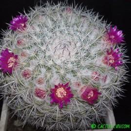 Mammillaria chionocephala. Вік рослини: 19 р. Власник: Я.П.Джура. Фото: Я.П.Джура.