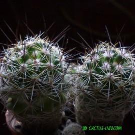Mammillaria gracilis. Вік: 4 р. Власник: Я.П.Джура. Фото: Я.П.Джура.
