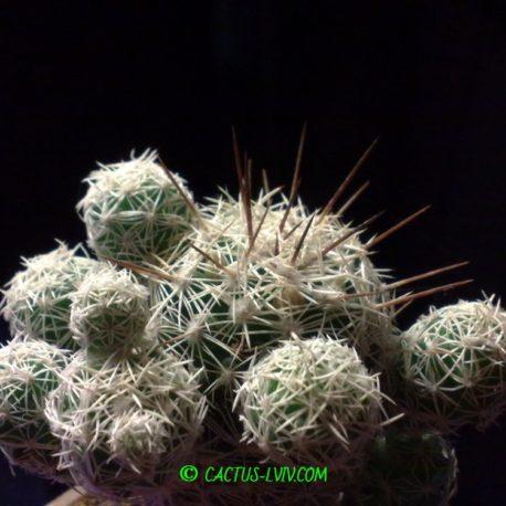 """Mammillaria gracilis v.fragilis -""""дітки"""""""