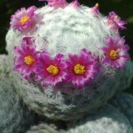 Mammillaria humboldtii. Власник: Я.П.Джура. Фото: Я.П.Джура.