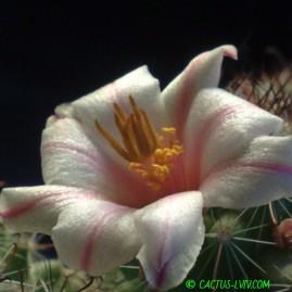 Mammillaria louisae. Вік: 2 р.і 6 міс. Власник: Я.П.Джура. Фото: Я.П.Джура.