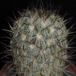 Mammillaria microhelia. Власник: Я.П.Джура. Фото: Я.П.Джура.