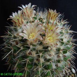 Mammillaria nejapensis. Власник: А.Ю.Печерський. Фото: А.Ю.Печерський.