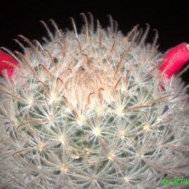 Mammillaria pennispinosa. Вік рослини: 12 р. Власник: Я.П.Джура. Фото: Я.П.Джура.
