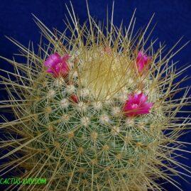 Mammillaria pringlei (J.M.Coult.) K.Brandegee. Власник: А.Ю.Печерський. Фото: А.Ю.Печерський.