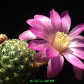 Mammillaria saboae. Щеплення, вік: 8 міс. Власник: Я.П.Джура. Фото: Я.П.Джура.