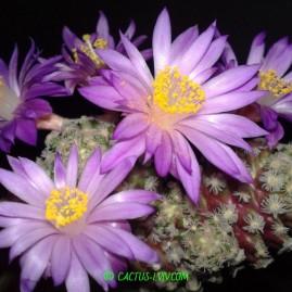 Mammillaria theresae. Щеплення, вік: 5 р. Власник: Я.П.Джура. Фото: Я.П.Джура.