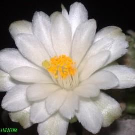 Mammillaria theresae v.albiflora. Щеплення, вік: 1 р. 6 міс. Власник: Я.П.Джура. Фото: Я.П.Джура.