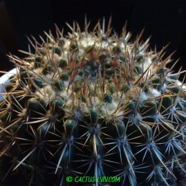 Notocactus submammulosus. Вік: 11 р. Власник: Я.П.Джура. Фото: Я.П.Джура.