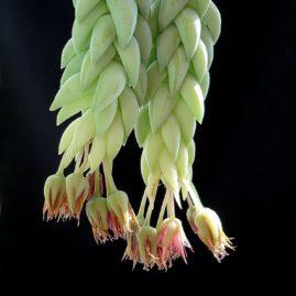 Sedum morganianum. Власник: А.Ю.Печерський. Фото: А.Ю.Печерський.