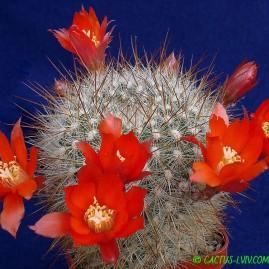 Aylostera fiebrigii v.densiseta. Власник: А.Ю.Печерський. Фото: А.Ю.Печерський.