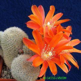 Aylostera heliosa v.theresae = Aylostera theresae. Власник: А.Ю.Печерський. Фото: А.Ю.Печерський.