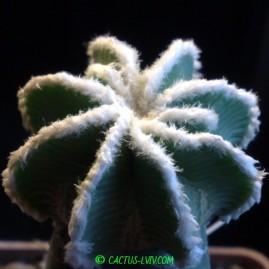 Aztekium hintonii. Щеплення, вік: 3 р. Власник: Я.П.Джура. Фото: Я.П.Джура.