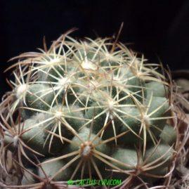 Coryphantha calipensis. Молода рослина, вік 7 р. Власник: Я.П.Джура. Фото: Я.П.Джура.