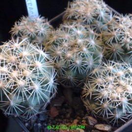 Coryphantha kracikii KMR 395 Ejido, Buen Dia, Dur, Mex. Сіянці у віці 6 р. Власник: Я.П.Джура. Фото: Я.П.Джура.