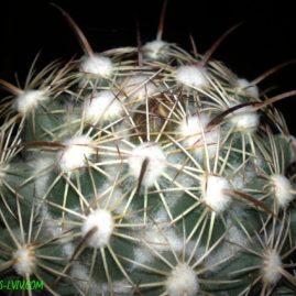 Coryphantha palmeri. Вік рослини: 24 р. Власник: Я.П.Джура. Фото: Я.П.Джура.