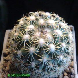 Coryphantha panarottoi Z 173 Zaragosa, NL, Mex. Молода рослина, вік 7 р. Власник: Я.П.Джура. Фото: Я.П.Джура.