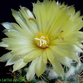 Coryphantha sulcolanata. Власник: А.Ю.Печерський. Фото: А.Ю.Печерський.