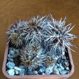 Echinocereus viridiflorus var. davisii (Houghton) W.T.Marshall. Власник: С.Заскальний (Біла Церква). Фото: С.Заскальний.