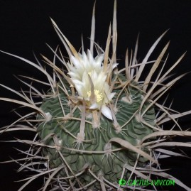 Echinofossulocactus phyllacanthus. Вік рослини: 21 р. Власник: Я.П.Джура. Фото: Я.П.Джура.