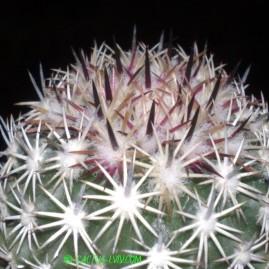Echinomastus acunensis. Щеплення, вік: 6 р. Власник: Я.П.Джура. Фото: Я.П.Джура.