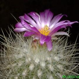 Echinomastus macdowellii. На власному корінні. Вік рослини: 19 р. Власник: Я.П.Джура. Фото: Я.П.Джура.