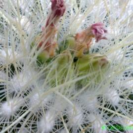 Echinomastus macdowellii. На власному корінні. Вік рослини: 20 р. Власник: Я.П.Джура. Фото: Я.П.Джура.