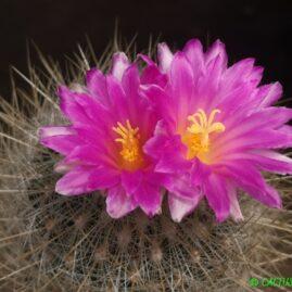 Echinomastus macdowellii. На власному корінні. Вік рослини: 24 р. Власник: Я.П.Джура. Фото: Я.П.Джура.