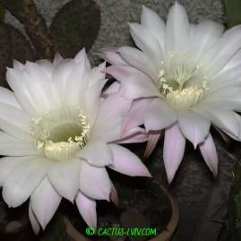 Echinopsis sp. Вік: 32 р. Власник: Я.П.Джура. Фото: Я.П.Джура.