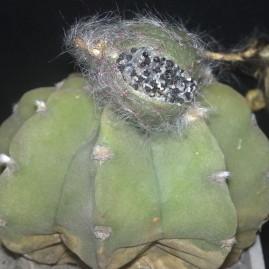 Echinopsis subdenudata. Вік рослини: 7 р. Власник: Я.П.Джура. Фото: Я.П.Джура.