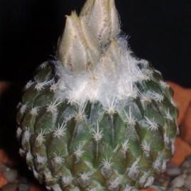 Encephalocarpus strobiliformis. Вік рослини: 6 р.(посів 2006 р.). Власник: Я.П.Джура. Фото: Я.П.Джура.