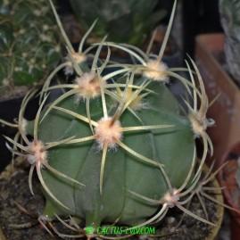Ferocactus histrix (MG 424.6). Молода рослина у віці 4 р. Власник: Я.П.Джура. Фото: Я.П.Джура.