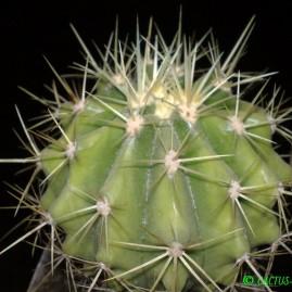 Ferocactus reppenhagenii. Вік рослини: 6 р. Власник: Я.П.Джура. Фото: Я.П.Джура.