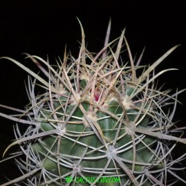 Ferocactus wislizenii. Вік рослини: 16 р. Власник: Я.П.Джура. Фото: Я.П.Джура.