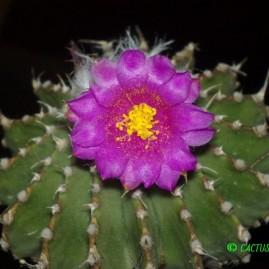 Geohintonia mexicana. Щеплення, вік: 4 р. Власник: І.Б.Маринюк. Фото: Я.П.Джура.