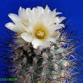 Gymnocactus gielsdorfianus. Власник: А.Ю.Печерський. Фото: А.Ю.Печерський.