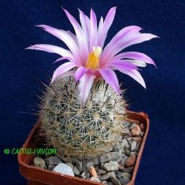 Gymnocactus subterraneus. Власник: А.Ю.Печерський. Фото: А.Ю.Печерський.